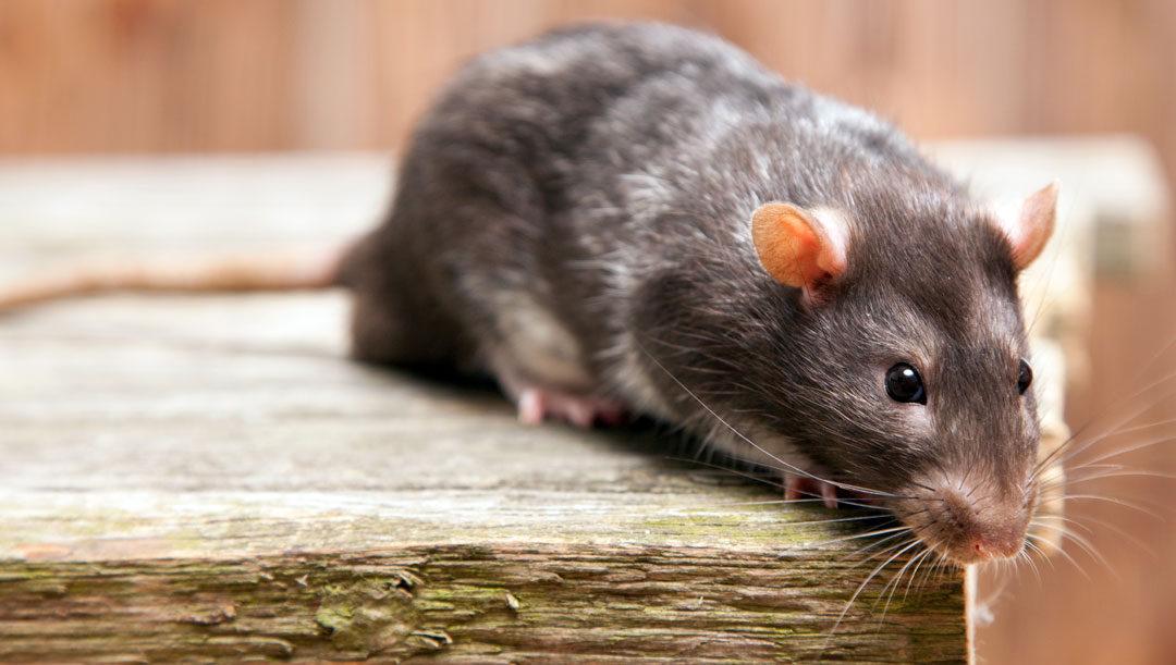 Rottebekæmpelse kræver professionel hjælp